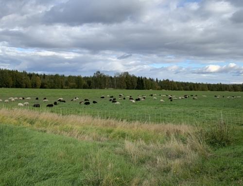 Lammvägning, frost & vallhundstävling